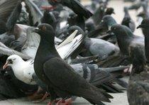 piccioni-cuba