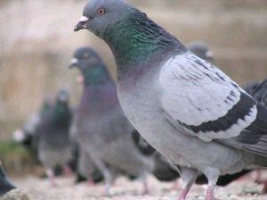 piccioni viaggiatori