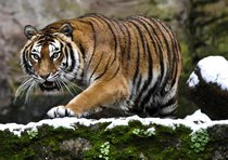 tigri-cina