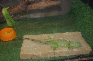 iguana_0169-300x198