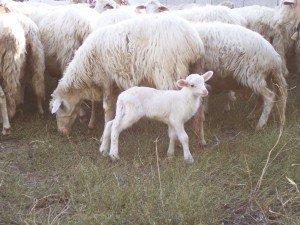 Un allevamento di agnelli