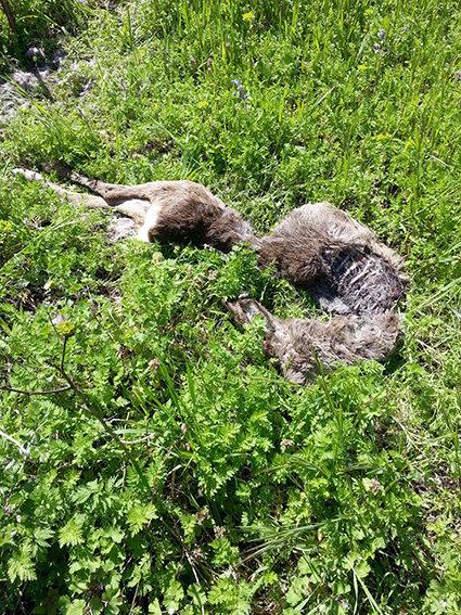 La carcassa dell'animale morto, rinvenuta lunedì