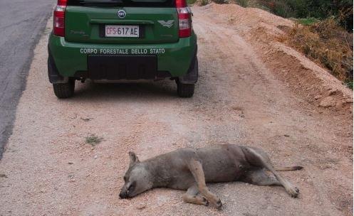 Il lupo trovato questa mattina