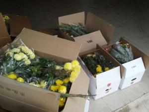 sequestro_crisantemi