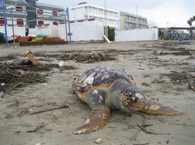 tartarughe morte secondo esemplare(10)