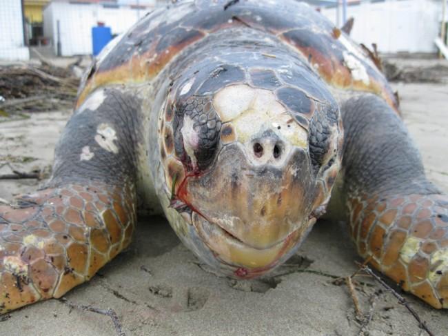 tartarughe morte secondo esemplare(9)
