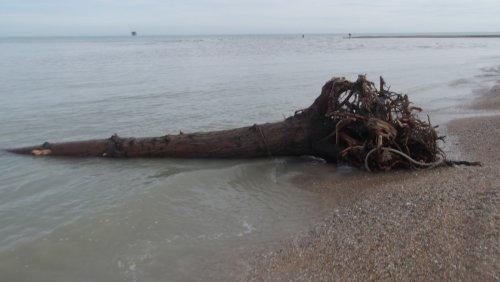 Un albero spiaggiato a Civitanova
