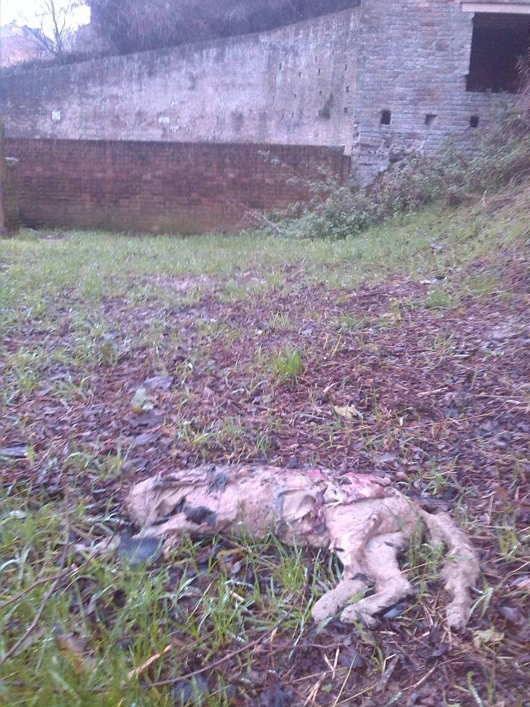 La carcassa del cane morto, sullo sfondo fonte Maggiore