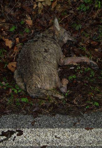 La carcassa del lupo è stata trovata lungo la statale 361