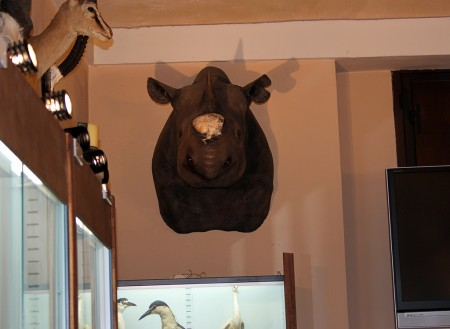 Uno dei rinoceronti a cui è stato portato via il corno