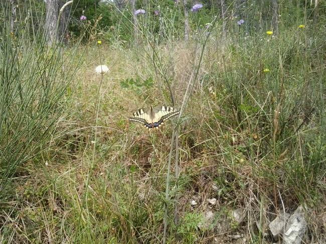 farfalla teloni treia (1)