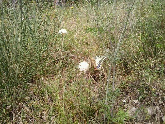 farfalla teloni treia (2)