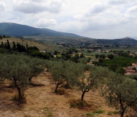 L'uliveto della tenuta Piccinini ad Urbisaglia