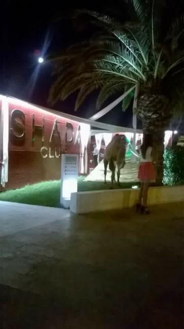 Uno dei due cammelli davanti allo Shada