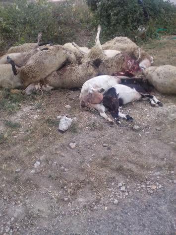 Le pecore uccide dai lupi a Pieve Torina