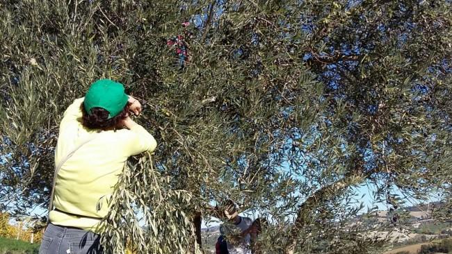 ulivo-olivo-cade-olive-campi-lavoro-contadino3-650x366
