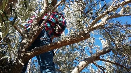 ulivo-olivo-cade-olive-campi-lavoro-contadino5-450x253