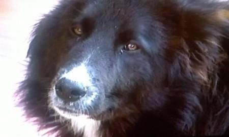Lupo, il cane sbranato da un branco a Serrapetrona