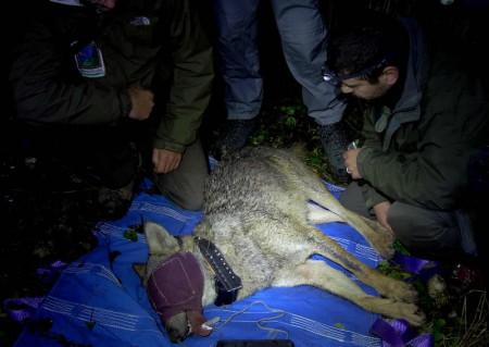 Il lupo Nahar catturato nel parco