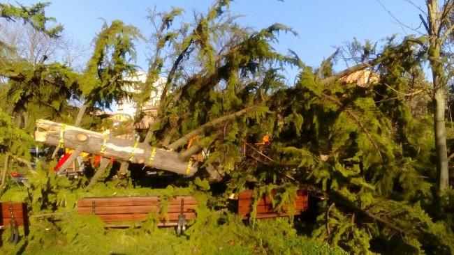 Il cedro caduto ai Giardini Diaz