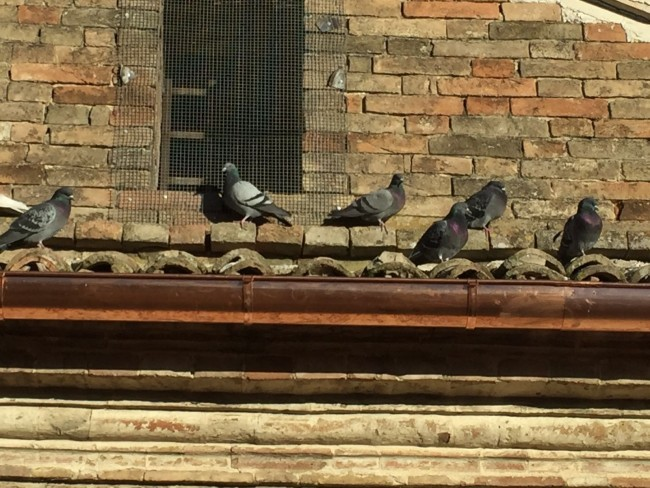 I piccioni intrappolati