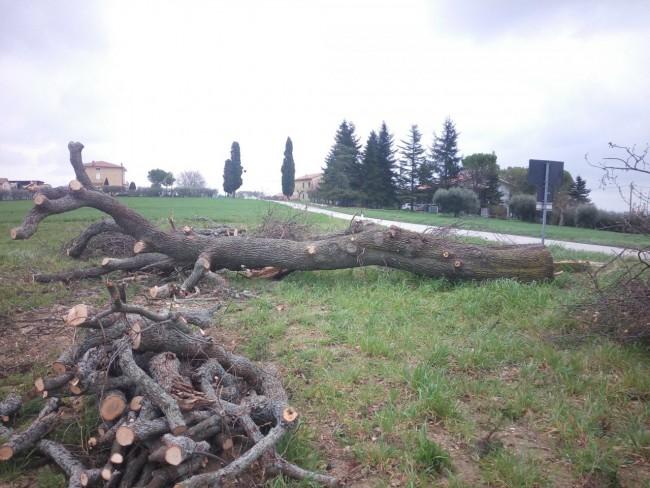 legno alberi Querce tagliate appignano forestale