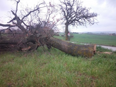 Una delle querce secolari tagliate