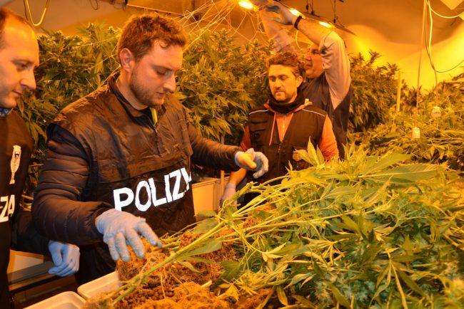 marijuana-sequestrata-pollenza-3-650x434