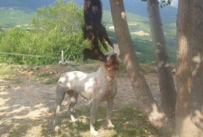 Uno dei cinghiali ucciso dai cani