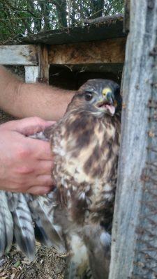 falco impallinato