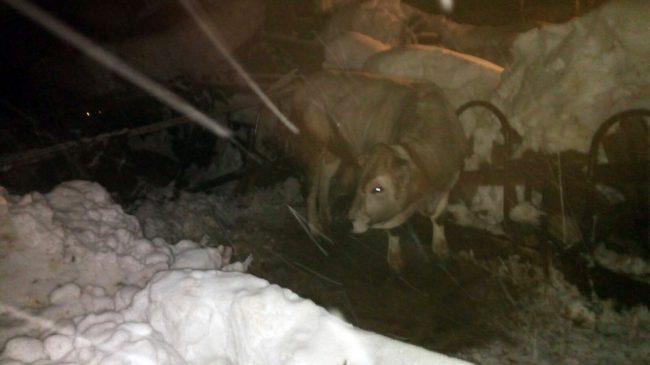 Gualdo-stalla-azienda-beccerica_-animali-terremotati-neve-10-650x365