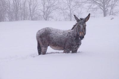 animali-neve-azienda-agricola-scolastici-visso-4-400x267