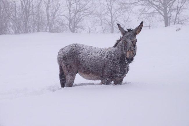 animali-neve-azienda-agricola-scolastici-visso-4-650x433