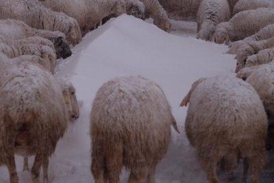 animali-neve-azienda-agricola-scolastici-visso-5-400x267