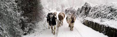 mucche-neve-angeli-anzienda