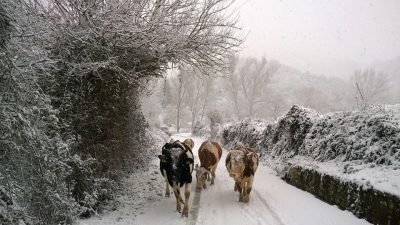 mucche-neve-pieve-torina-6-400x225