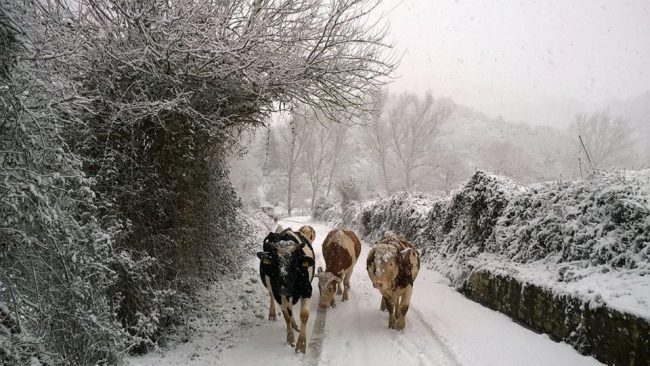 mucche-neve-pieve-torina-6-650x366