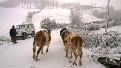 mucche-neve-pieve-torina2-400x225