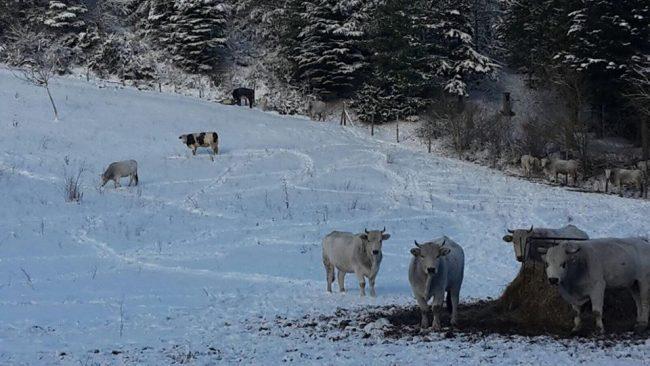 mucche-pieve-torina-Rivarelli