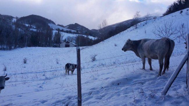 mucche-pieve-torina-Rivarelli2-650x366
