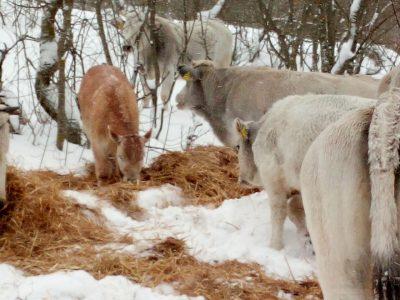 mucche_vallestretta_ussita-7-400x300