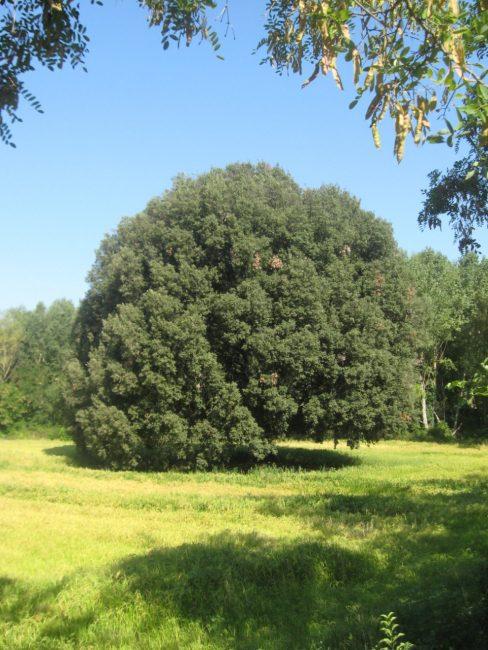 albero-secolare