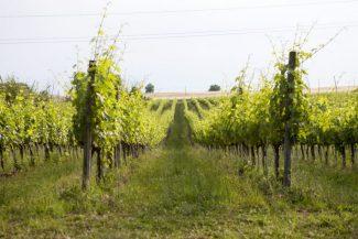 vitigno-verdicchio-cavalieri-11-e1424283259863-325x217