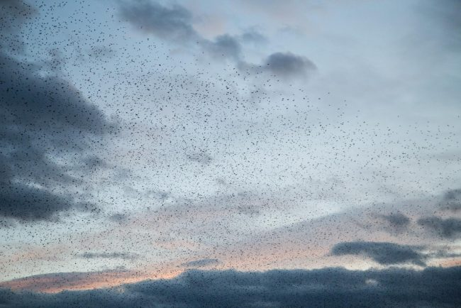 stormo-di-uccelli-storni-macerata-2017-foto-ap-3-650x434