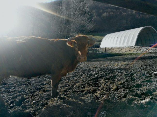 mucca-allevatori