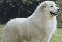 pastore-maremmano-e1557229492181