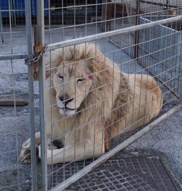 leone-circo-3-621x650