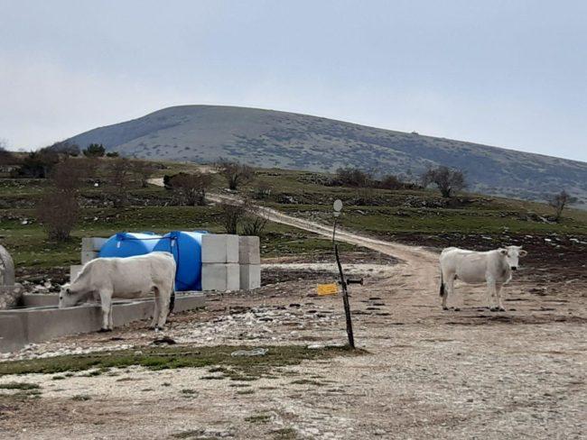 pascoli-sibillini-bovini-abbeveratoio