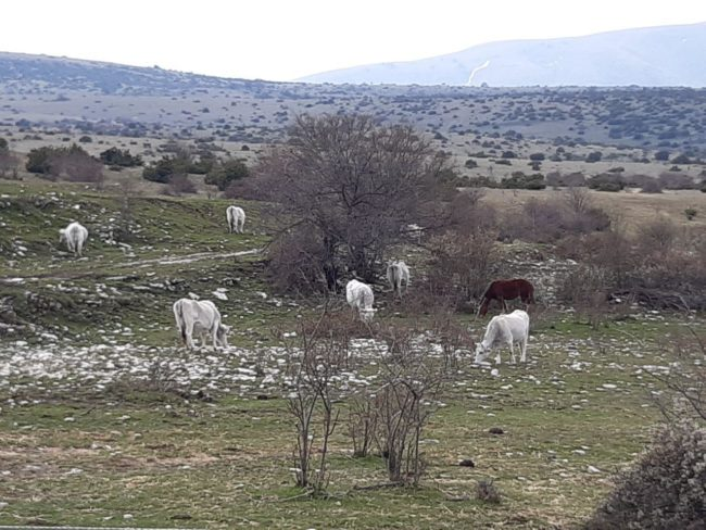pascoli-sibillini-gregge-bovini