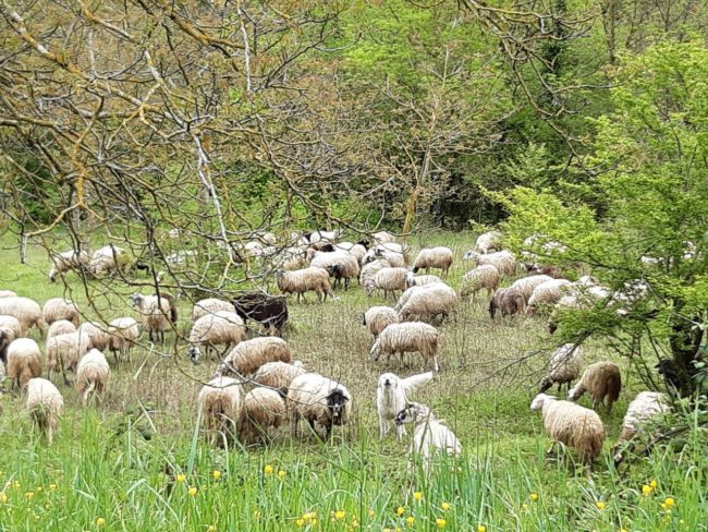 pascoli-sibillini-gregge-ovini